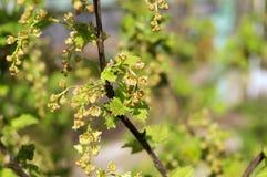 土蜂授粉的花无核小葡萄干 库存照片