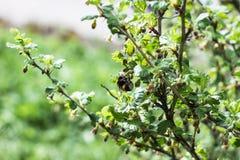 土蜂授粉醋栗灌木丛 库存图片