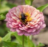 土蜂收集在一朵桃红色花的花粉 图库摄影