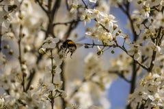 土蜂收集在洋李的花蜜在春天 免版税图库摄影