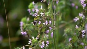 土蜂收集花蜜 影视素材