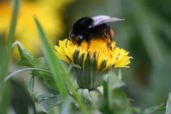 土蜂春天 库存照片