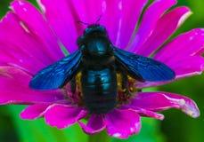 土蜂木匠紫罗兰 在花的一只蜂 库存照片