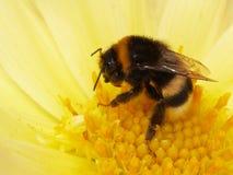 土蜂清洗了 库存图片