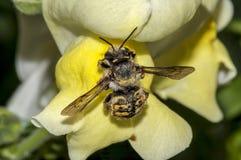 土蜂熊蜂terrestris的宏观射击用花粉盖的,登陆在准备好一黄色花金鱼草属的majus喝n 库存照片