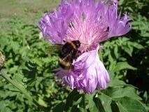 土蜂用花粉装载了在矢车菊花 免版税库存图片