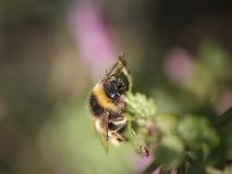 土蜂的宏指令 图库摄影