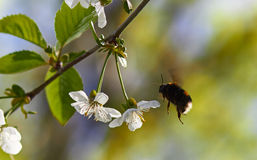 土蜂的飞行 免版税库存图片