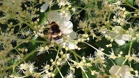 土蜂繁忙在工作 股票录像