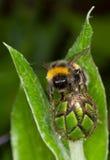 土蜂花 库存照片