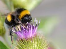 土蜂花 库存图片