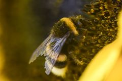 土蜂蜂从一块黄色向日葵夏天橡皮防水布收集花粉 图库摄影