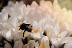 土蜂飞行在一个小组被溶化的白色番红花在花圃里 图库摄影