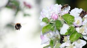 土蜂飞行 库存图片