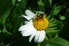 土蜂,白色白毛黄花草 免版税库存照片
