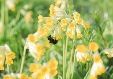 土蜂从报春花的黄色花收集花蜜在草甸 库存照片