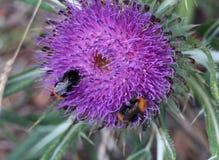土蜂从蓟刺的colect花粉 库存图片