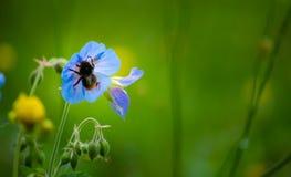 土蜂 免版税库存图片