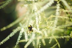 土蜂 库存照片