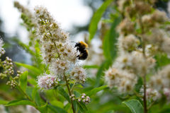 土蜂 库存图片