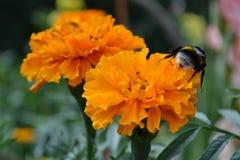 土蜂 免版税图库摄影