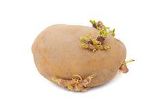 土豆发芽了 免版税库存照片