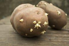 土豆发芽了 库存图片