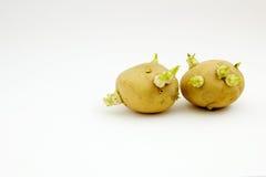 土豆发芽肿胀 免版税库存照片
