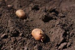 土豆在土壤 免版税库存照片