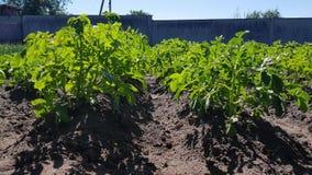 土豆在庭院里增长 股票视频