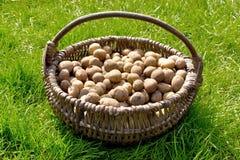 土豆在绿草的老柳条筐 免版税库存照片