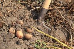 土豆开掘 免版税图库摄影