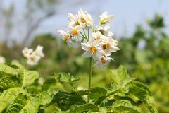 土豆开花在庭院里 免版税图库摄影