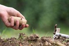 土豆播种 免版税库存图片
