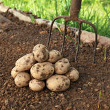 土豆收获在一个菜园里 库存照片