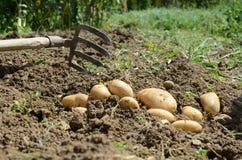 土豆收获 免版税图库摄影