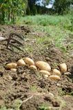 土豆收获 免版税库存照片