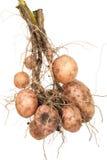 土豆根 库存图片
