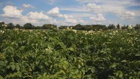 土豆植物的大领域在绽放的 影视素材