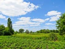 年轻土豆植物行在领域的 库存照片