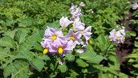 土豆植物绽放在庭院里 库存图片