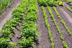 土豆植物 库存照片