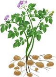 土豆植物 库存例证