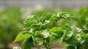 土豆灌木在庭院里 股票视频