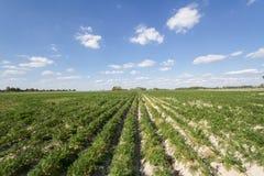 土豆的域 免版税库存照片