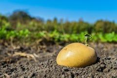 土豆种子绿色射击在菜园的 库存图片