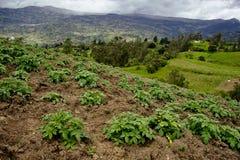 土豆种植园和山 免版税库存照片