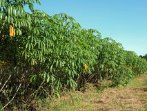 土豆种植园在泰国 库存图片