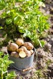 土豆第一个收获在庭院里 免版税库存图片