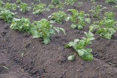 土豆耕种 图库摄影